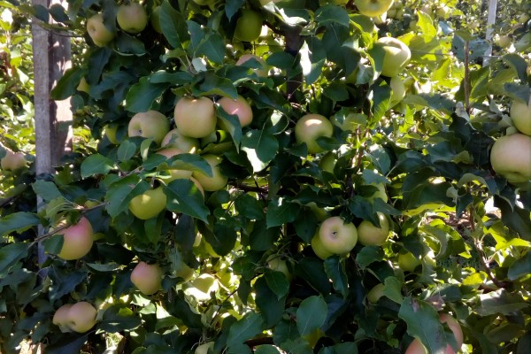 Crips pink jabuka, Baštica  28.09.2017.