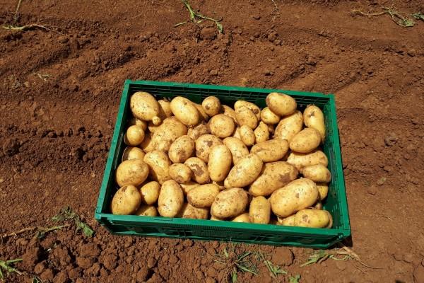 Gnojidba krumpira i industrijske rajčice